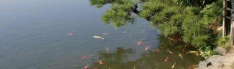 туры в японию по кои фермам