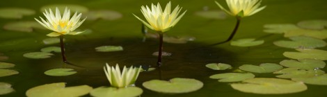 Водяная лилия - королева водоемов