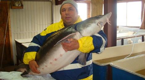 Бестер - самая перспективная рыба породы осетровых